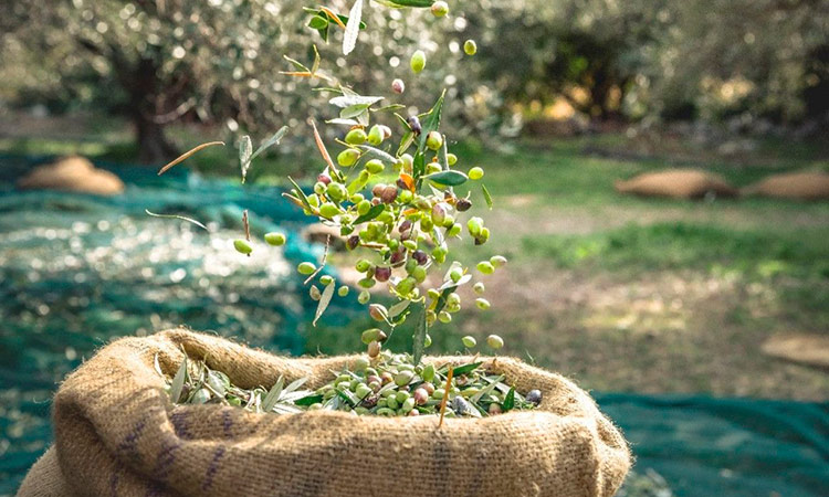 tendencias-actuales-gastronomia-2021-aceite de oliva-monovarietales